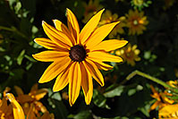 /images/133/2006-10-01-lone-fall05.jpg - #02929: Black Eyed Susan (Yellow daisy) in Lone Tree … Oct 2006 -- Lone Tree, Colorado