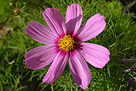/images/133/2006-10-01-lone-fall19.jpg - #02943: Pink daisy in Lone Tree … Oct 2006 -- Lone Tree, Colorado