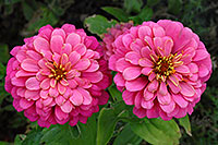 /images/133/2006-10-08-cent-flowers01.jpg - #02997: pink flowers in Centennial … Oct 2006 -- Centennial, Colorado