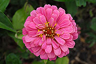 /images/133/2006-10-08-cent-flowers02.jpg - #02998: pink flower in Centennial … Oct 2006 -- Centennial, Colorado