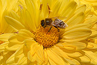/images/133/2006-10-12-lone-flower-bee.jpg - #02995: Bee on a yellow flower … Oct 2006 -- Englewood, Colorado