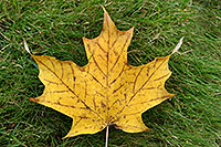 /images/133/2006-10-21-oak-maple-leaf.jpg - #03080: yellow maple leaf in grass … images of Oakville … Oct 2006 -- Oakville, Ontario.Canada
