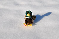 /images/133/2006-10-28-lone-duck01.jpg - #03153: Duck in the snow … Oct 2006 -- Lincoln Rd, Englewood, Colorado