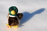 /images/133/2006-10-28-lone-duck02.jpg - #03154: Duck in the snow … Oct 2006 -- Lincoln Rd, Englewood, Colorado