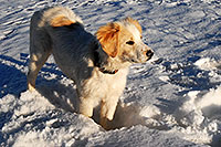 /images/133/2007-02-17-bo-stella-snow02-3771.jpg - #03531: Stella (Golden Retriever and Great Pyrenees mix) in Boulder … Feb 2007 -- Boulder, Colorado