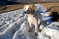 /images/133/2007-02-17-bo-stella-snow03.jpg - #03530: Stella (Golden Retriever and Great Pyrenees mix) in Boulder … Feb 2007 -- Boulder, Colorado