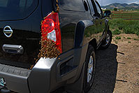 /images/133/2007-05-20-lake-bees02.jpg - #03842: Honey Bee swarm (wth a queen) in the crack in the back of my Xterra … May 2007 -- Lakewood, Colorado