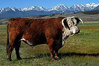/images/133/2007-06-09-lead-cow01.jpg - #03919: images of Mt Elbert, Colorado