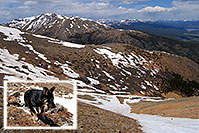 /images/133/2007-06-10-elbert-dog03.jpg - #03928: dog running in the snow down Mt Elbert towards her owner far below, in the middle of the snowfield … June 2007 -- Mt Massive, Mt Elbert, Colorado