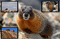 /images/133/2007-06-10-elbert-marmot-pro.jpg - #03941: Marmot at the false summit of  Mt Elbert  … June 2007 -- Mt Elbert, Colorado