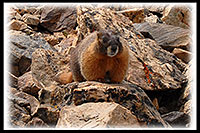 /images/133/2007-06-10-elbert-marmot02.jpg - #03940: Marmot along the North Trail of  Mt Elbert  … June 2007 -- Mt Elbert, Colorado