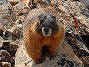 /images/133/2007-06-10-elbert-marmot04.jpg - #03943: Marmot along the North Trail of  Mt Elbert  … June 2007 -- Mt Elbert, Colorado
