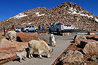 /images/133/2007-06-17-evans-goats-parking.jpg - #03991: images of Mt Evans … June 2007 -- Mount Evans Road, Mt Evans, Colorado