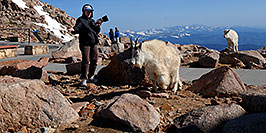 /images/133/2007-06-17-evans-goats-pho2.jpg - #03943: images of Mt Evans … June 2007 -- Mt Evans, Colorado