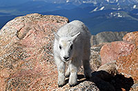 /images/133/2007-06-17-evans-goats01.jpg - #03974: Baby Mountain Goat at Mt Evans … June 2007 -- Mt Evans, Colorado