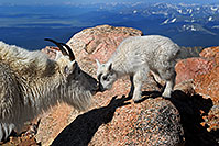 /images/133/2007-06-17-evans-goats02.jpg - #03975: Mother Mountain Goat kissing her baby at Mt Evans … June 2007 -- Mt Evans, Colorado