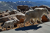 /images/133/2007-06-17-evans-goats04.jpg - #03977: Baby Mountain Goat following her mother at Mt Evans … June 2007 -- Mt Evans, Colorado