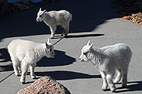 /images/133/2007-06-17-evans-goats05.jpg - #03978: 3 Baby Mountain Goats at Mt Evans … June 2007 -- Mt Evans, Colorado