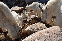 /images/133/2007-06-17-evans-goats07.jpg - #03980: 2 Baby Mountain Goats with their parents … June 2007 -- Mt Evans, Colorado