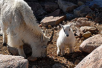 /images/133/2007-06-17-evans-goats08.jpg - #03981: Baby Mountain Goat with her mother … June 2007 -- Mt Evans, Colorado