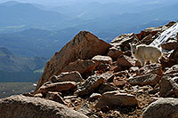 /images/133/2007-06-17-evans-goats10.jpg - #03983: Mountain Goats of Mt Evans … June 2007 -- Mt Evans, Colorado