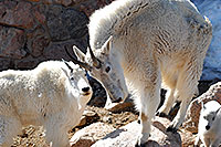 /images/133/2007-06-17-evans-goats11.jpg - #03984: Mountain Goats of Mt Evans … June 2007 -- Mt Evans, Colorado