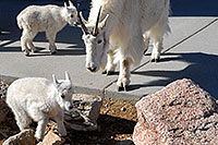 /images/133/2007-06-17-evans-goats12.jpg - #03985: Mountain Goats of Mt Evans … June 2007 -- Mt Evans, Colorado