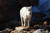 /images/133/2007-06-17-evans-goats13-3479.jpg - #03986: Mountain Goats of Mt Evans … June 2007 -- Mt Evans, Colorado