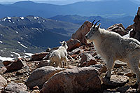 /images/133/2007-06-17-evans-goats14.jpg - #03987: Mountain Goats of Mt Evans … June 2007 -- Mt Evans, Colorado