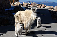 /images/133/2007-06-17-evans-goats15.jpg - #03988: Mountain Goats of Mt Evans … June 2007 -- Mt Evans, Colorado