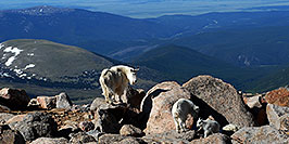 /images/133/2007-06-17-evans-goats16-pano.jpg - #03990: Mountain Goats of Mt Evans … June 2007 -- Mt Evans, Colorado