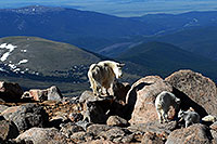 /images/133/2007-06-17-evans-goats16.jpg - #03989: Mountain Goats of Mt Evans … June 2007 -- Mt Evans, Colorado