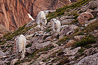 /images/133/2007-06-30-evans-goats01.jpg - #04143: images of Mt Evans … June 2007 -- Mt Evans, Colorado