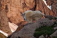/images/133/2007-06-30-evans-goats02.jpg - #04144: images of Mt Evans … June 2007 -- Mt Evans, Colorado