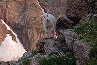 /images/133/2007-06-30-evans-goats03.jpg - #04145: images of Mt Evans … June 2007 -- Mt Evans, Colorado