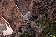 /images/133/2007-06-30-evans-goats04.jpg - #04146: images of Mt Evans … June 2007 -- Mt Evans, Colorado