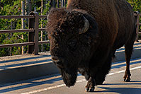 /images/133/2007-07-22-y-buff-bridge02.jpg - #04334: Buffalo crossing a bridge near Canyon Village … July 2007 -- Canyon Village, Yellowstone, Wyoming