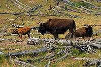 /images/133/2007-07-22-y-buff-mudpot-fa1.jpg - #04341: Buffalo Family - father sitting, mother standing with little calf … July 2007 -- Mud Volcano, Yellowstone, Wyoming