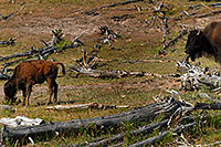 /images/133/2007-07-22-y-buff-mudpot-fa2.jpg - #04342: Buffalo calf grazing as mother watches … July 2007 -- Mud Volcano, Yellowstone, Wyoming