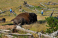 /images/133/2007-07-22-y-buff-mudpot-ppl.jpg - #04343: Buffalo resting near trail - people walking at a safe distance … July 2007 -- Mud Volcano, Yellowstone, Wyoming
