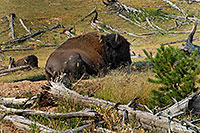 /images/133/2007-07-22-y-buff-mudpot02.jpg - #04339: Buffalo resting near near Mud Volcano … July 2007 -- Mud Volcano, Yellowstone, Wyoming