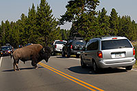 /images/133/2007-07-22-y-buff-water01.jpg - #04344: Buffalo crossing the road and river to join the other buffalo … July 2007 -- LeHardys Rapids, Yellowstone, Wyoming