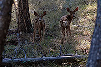 /images/133/2007-07-22-y-fawns01.jpg - #04350: Two fawns in the woods near Tower Fall … July 2007 -- Tower Fall, Yellowstone, Wyoming