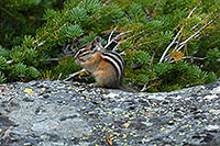 /images/133/2007-07-23-y-chipmunk01.jpg - #04369: Chipmunk posing next to Lookout Point … July 2007 -- Lookout Point, Yellowstone, Wyoming
