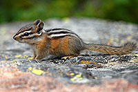 /images/133/2007-07-23-y-chipmunk02.jpg - #04370: Chipmunk posing next to Lookout Point … July 2007 -- Lookout Point, Yellowstone, Wyoming