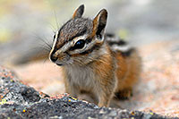/images/133/2007-07-23-y-chipmunk04.jpg - #04372: Chipmunk posing next to Lookout Point … July 2007 -- Lookout Point, Yellowstone, Wyoming