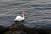 /images/133/2007-07-23-y-lake-pelican03.jpg - #04389: American White Pelican swimming on Yellowstone Lake … July 2007 -- Yellowstone Lake, Yellowstone, Wyoming