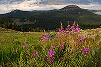 /images/133/2007-07-26-mt-bear-flow01.jpg - #04437: Purple flowers in the morning along Beartooth Pass Highway … July 2007 -- Beartooth Pass(MT), Montana