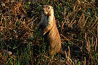 /images/133/2007-07-27-mt-prairie-dog01.jpg - #04465: Prairie dogs in Greycliff Prairie Dog Town … July 2007 -- Greycliff Prairie Dog Town, Montana