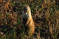/images/133/2007-07-27-mt-prairie-dog02.jpg - #04466: Prairie dogs in Greycliff Prairie Dog Town … July 2007 -- Greycliff Prairie Dog Town, Montana
